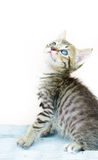 katt little som är thai Arkivbilder
