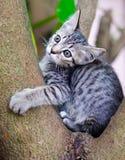 katt little som är thai Arkivbild
