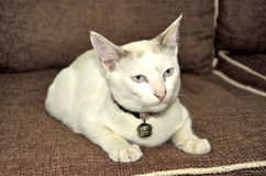 katt little som är vit Royaltyfri Foto