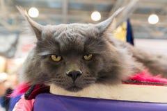 Katt Maine Coon på den internationella utställningen Ketsburg i Moskva Royaltyfria Foton