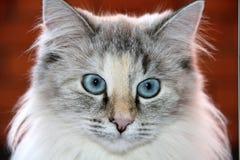 Katt med blåa ögon Fotografering för Bildbyråer
