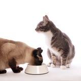 Katt med den matande bunken Royaltyfria Foton