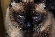 Katt med en missnöjd framsida arkivbilder