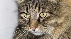 Katt med en strimmig färg, Royaltyfria Foton