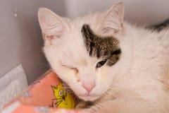 Katt med ett öga som stängs på grund av bindhinneinflammation royaltyfri foto