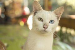 Katt med ett blått öga Arkivbild
