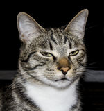Katt med gröna ögon och stora håriga öron Royaltyfria Bilder