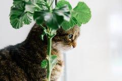 Katt med härlig närbild för gröna ögon på en vit bakgrund bredvid en houseplantpelargon arkivbilder