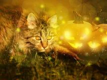 Katt med halloween pumpor Royaltyfri Foto