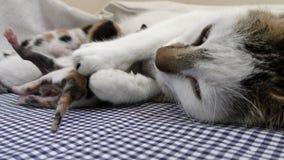 Katt med kattungar stock video