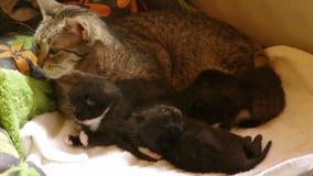 Katt med kattungar på filten stock video