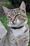 Katt med kragen Fotografering för Bildbyråer