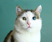 Katt med olik ögonfärgblått och gräsplan royaltyfri bild