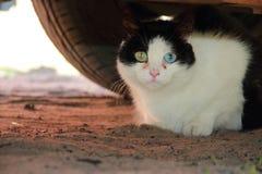Katt med olika ögon Arkivfoton