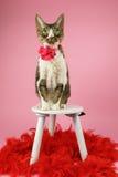 Katt med röda fjädrar Royaltyfria Foton