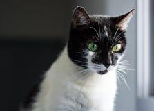 Katt med två olika ögonfärger arkivbild