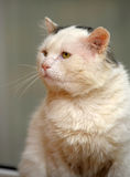 Katt med uttrycksfulla ögon Arkivbild