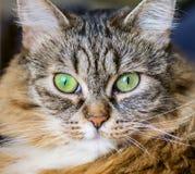 Katt med uttrycksfulla ögon Arkivfoto