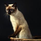 katt mekong för bobtail 2 Fotografering för Bildbyråer