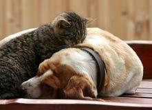 Katt- och bassethundhund Fotografering för Bildbyråer