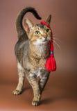 Katt- och bolonkazwetna i studio Royaltyfri Foto