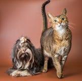 Katt- och bolonkazwetna i studio Arkivfoto