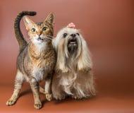 Katt- och bolonkazwetna i studio Arkivfoton