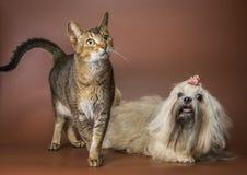 Katt- och bolonkazwetna i studio Arkivbild