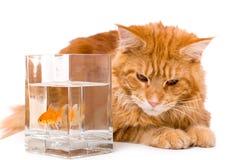 Katt och en guld- fisk Royaltyfri Foto