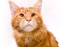 Katt och en guld- fisk Fotografering för Bildbyråer