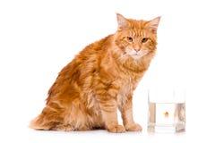 Katt och en guld- fisk Arkivfoto