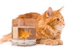 Katt och en guld- fisk Royaltyfri Bild
