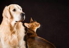 Katt och hund, abyssinian kattunge, golden retriever Arkivfoton