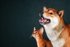 Katt och hund, abyssinian kattunge, shibainuvalp Royaltyfri Bild