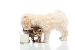 Katt och hund som tillsammans matar Royaltyfri Fotografi