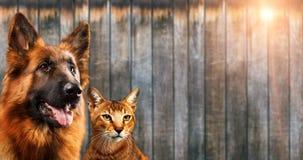 Katt och hund tillsammans, chausiekattunge, abyssinian katt, blick för tysk herde på rätten, på träbakgrund royaltyfria foton
