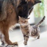 Katt och hund tillsammans inomhus Kamratskap mellan husdjur royaltyfria foton