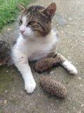 Katt och igelkott Royaltyfri Bild