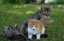 Katt och kattungar Royaltyfri Bild