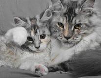 Katt och kattunge Arkivfoton