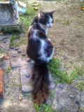 Katt och lång svans Fotografering för Bildbyråer