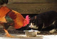 Katt och tupp 001 arkivbilder