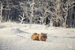 Katt och vinter Arkivfoton