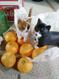 Katt på apelsinen Arkivfoto