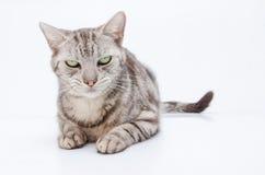 Katt på den vita bakgrunden Arkivfoton