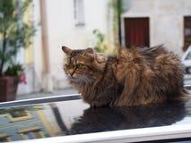 Katt på en bil Royaltyfri Foto