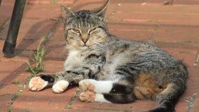 Katt på en lantgård som ligger på kullersten, strimmig katt lager videofilmer