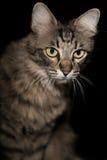 Katt på en svart bakgrund Arkivbilder