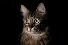 Katt på en svart bakgrund Fotografering för Bildbyråer