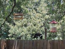 Katt på ett staket Bird Watching Royaltyfria Foton